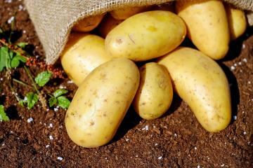 Unjustly slandered: Dispelling the three myths about the dangers of potatoes
